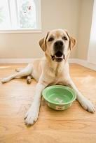 Yellow Labrador with a green dog bowl.
